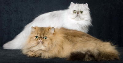 Persian Cats Stardazl Cattery Dallas White Silver Gold