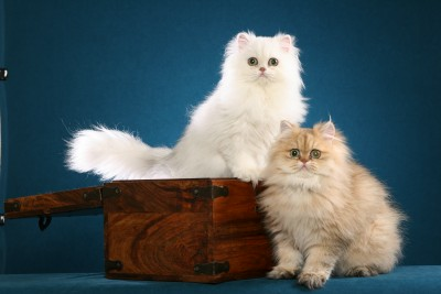 Persian Cats from Stardazl Cattery, Exquisite Silver and Gold Persian Cats and kittens from Stardazl Cattery are purebred pedigree Persian cats which make affectionate, loyal and loving companions from an award winning Texas cat breeder.